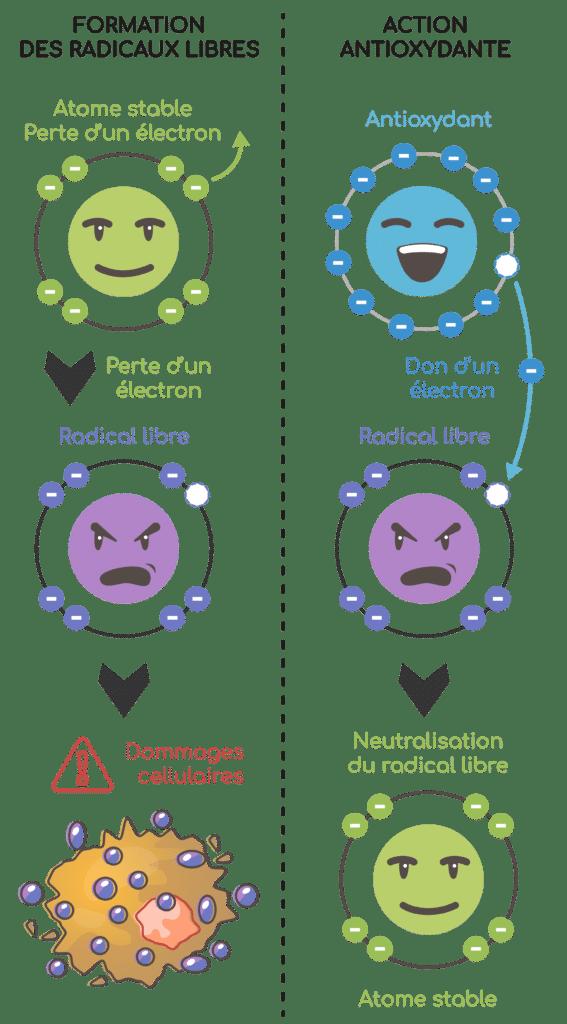 Bienfaits de la quercétine : piege des radicaux libres