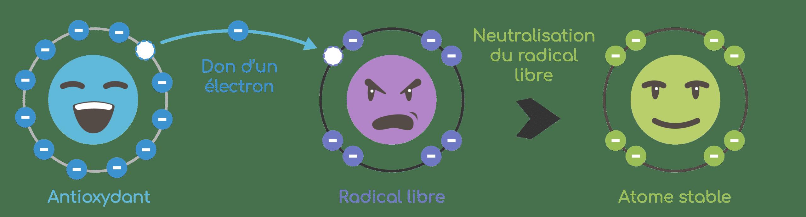 Action antioxydante de la quercétine : piège des radicaux libres