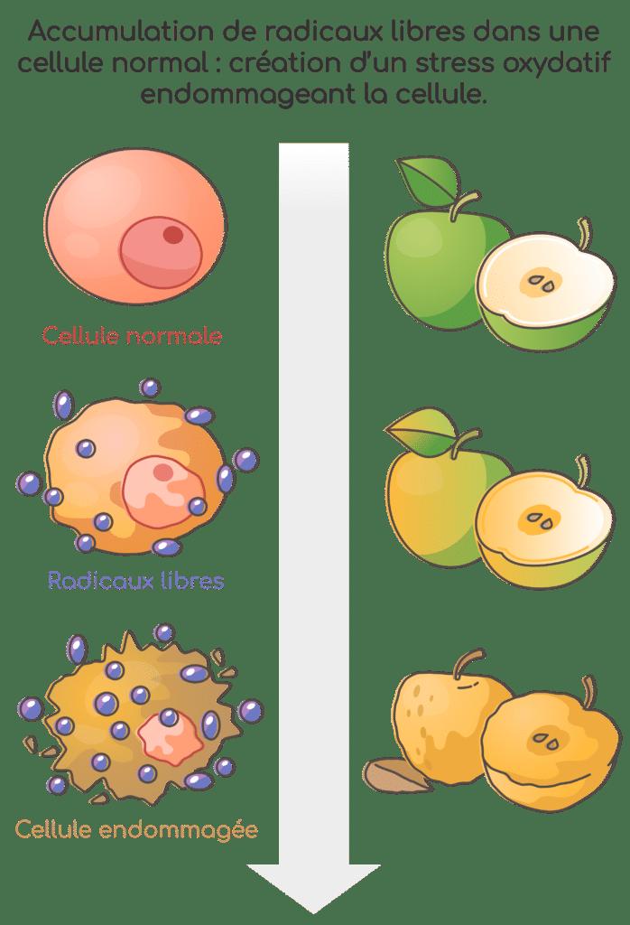 Bienfaits de la quercétine : action antioxydante