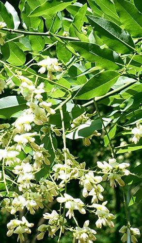 Sophora japonica est la principale source de quercétine en nutraceutique